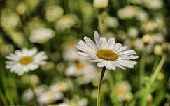 nyári virág margaréta