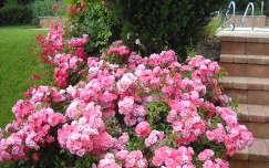 Rózsabokor a kertben