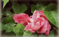 örökzöld rózsa borostyán