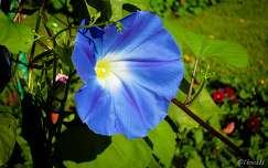nyári virág hajnalka