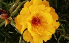 kukacvirág