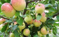 alma gyümölcs