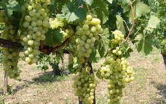 szőlőültetvény szőlő gyümölcs