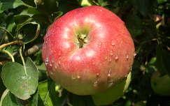alma vízcsepp gyümölcs