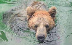 Kamcsatkai medve a Budapesti Állatkertben