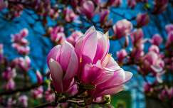 tavaszi virág tavasz magnólia