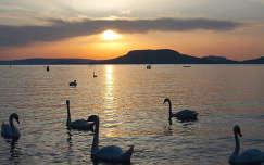 magyarország badacsony hattyú tó balaton vizimadár hegy naplemente