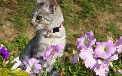 állatkölyök macska petúnia