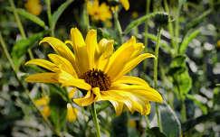 csicsóka virága nyári virág