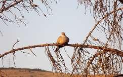 galamb madár