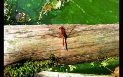 Putnoki-tó, természet, halastó, szitakötő