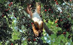Tiszafán lógó mókus