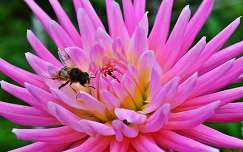 rovar dália méh