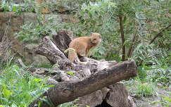 Mongúz a Budapesti Állatkertben