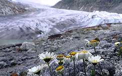 Gleccser virág
