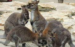 Bennett kenguruk a Budapesti Állatkert simogatójában