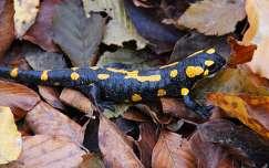szalamandra hüllők