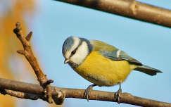 kékcinege madár cinege