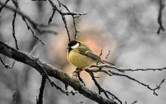 széncinege madár cinege