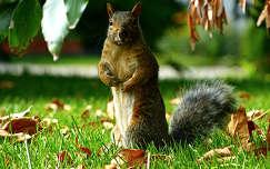 Kanadai mókus...