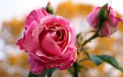 nyári virág névnap és születésnap rózsa bimbó
