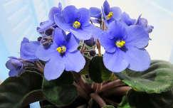 Fokföldi ibolya, kék, virág