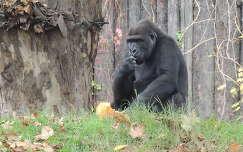 Gorilla,