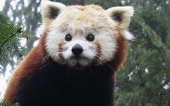 Vörös-panda - Macskamedve (Nyíregyházi állatkert)