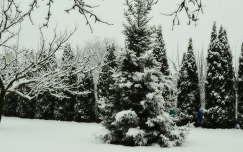 havas fenyő