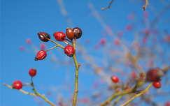 csipkebogyó gyümölcs színes