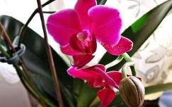 orchidea trópusi virág bimbó