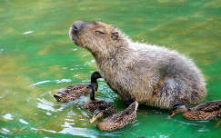 vizimadár kapibara kacsa
