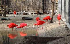 Vörös íbiszek az Állatkertben