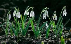 tavaszi virág hóvirág tavasz nőnap vadvirág