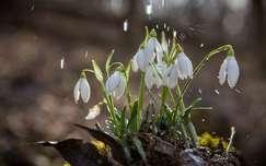 eső hóvirág vadvirág tavaszi virág tavasz