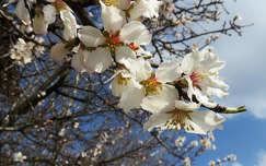 Mandulafa virág, virágzó fa