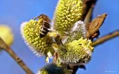 méh barka rovar