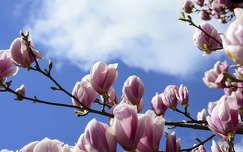tavaszi virág virágzó fa magnólia