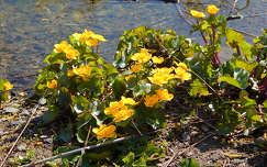 tavaszi virág vadvirág gólyahír