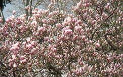 tavasz virágzó fa magnólia