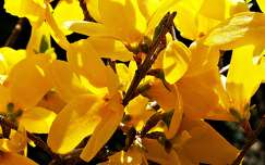 tavaszi vir�g aranyes�