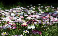 vadvirág százszorszép virágmező