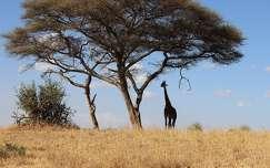 Tanzánia Tarangie Nemzeti Park