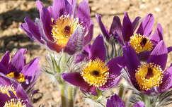 LeánykökörcsinA leánykökörcsin a boglárkafélék családjába tartozó, selymesen gyapjas évelő növényfaj. Népies nevei: lókökörcsin, kikirics, kükörics, tikdöglesztő, alamuszvirág, kokasharang, varjúkikerics