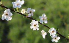 Szilvafa virág