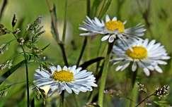 vadvirág százszorszép