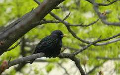 madár állatkölyök madárfióka rigó feketerigó