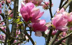 virágzó fa magnólia