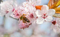 Virágpor-gyűjtés, tavasz, méh, szilvafa