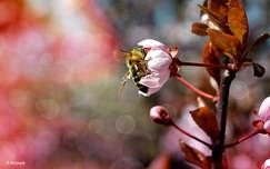 Tettenérés :) Méh, szilvafa, tavasz